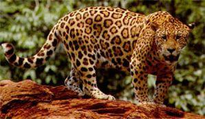Jaguar o Tigre Mariposa